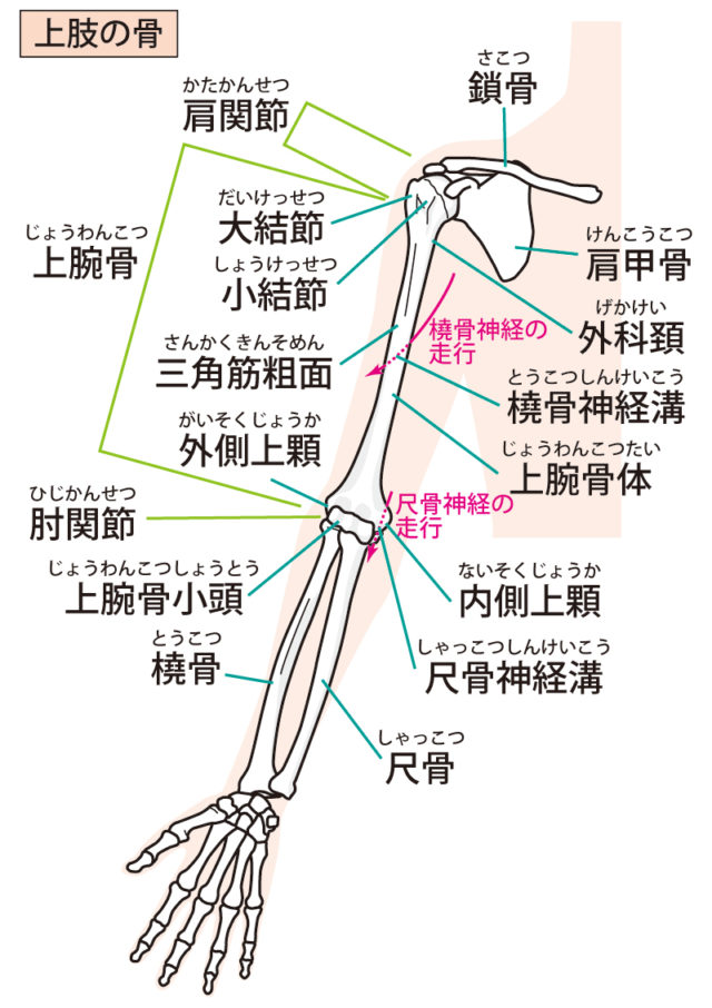 上肢の関節