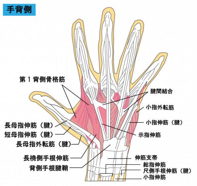 手の筋・腱のイラスト